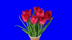 Time-lapse of opening red tulips bouquet in a vase 8a4b in 4K Animation format with ALPHA transparency channel isolated on blue chroma keyed background