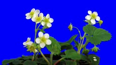 Time-lapse of growing and blooming strawberry 3a1b in Animation format with ALPHA transparency channel isolated on blue chroma keyed background