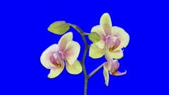 Time-lapse of opening Orchid Butterfly 1a4b in 4K Animation format with ALPHA transparency channel isolated on blue chroma keyed background