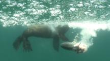 Sea Lion Feeds On Jack