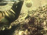 Sea Lion Pup Curious About Swollen Pufferfish. It Tries To Play With It