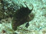 Signal Blenny Displays Dorsal Fin