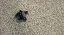 Baby Sea Turtles Walking Towards The Sea And Being Taken By The Waves