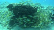 School Of Jacks And Snappers In The Sea Of Cortez