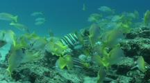 School Of Young Yellow Snappers In The Sea Of Cortez