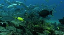 Lots Of Fish, Jacks, Snappers, Groupers, Jacks, Surgeonfish, In A Reef In The Sea Of Cortez