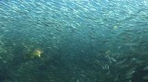 Schools Of Herring Being Hunted By Different Fish, The Schools Shine And Flash As They Avoid The Predators