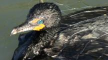 Cormorant Caught In A Net, Struggles To Escape