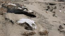 Sea Turtle Skeletons In The Sand