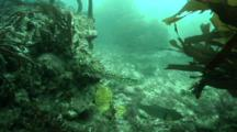 Hooka Diver Looks For Avalone In A Kelp Forest