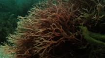 Red Or Brown Algae