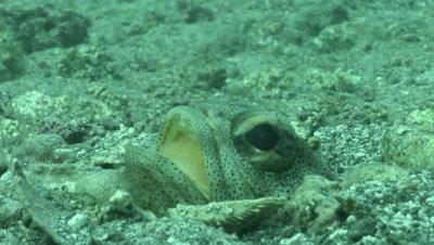 Giant Jawfish oxygenating eggs