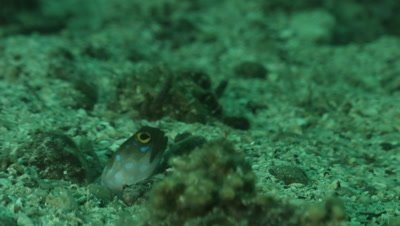 Blue-Spotted jawfish display