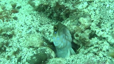 Blue-Spotted Jawfish peeking out of shelter