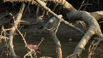 Tricolored heron catching fish in mangrove forest