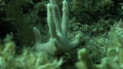 Staghorn hermit crab eating