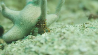 Two Staghorn hermit crabs eating,Staghorn hermit crab eating