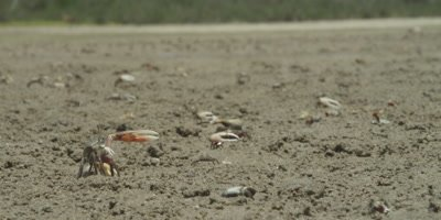 Fiddler crab display
