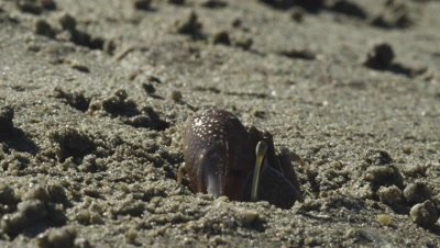 Fiddler crab exiting its hole with sand ball in the claws