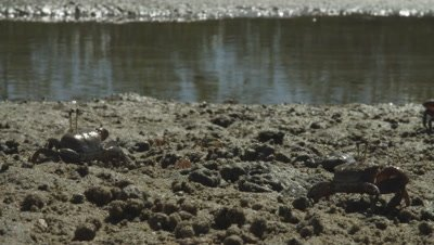 Fiddler crabs feeding and forming sediment balls