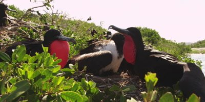 Nesting Colony of Magnificent Frigatebird