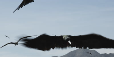 Maginificent frigatebird flying display
