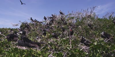 Magnificent frigatebird nesting colony