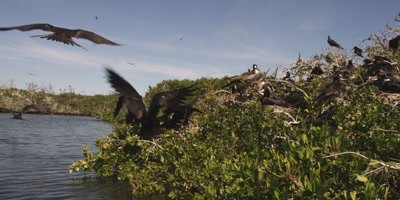 Magnificent frigatebird territorial fight