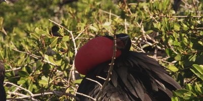 Magnificent frigatebird courtship