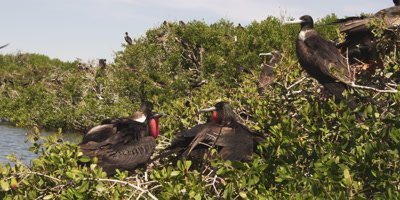 Magnificent frigatebirds after mating