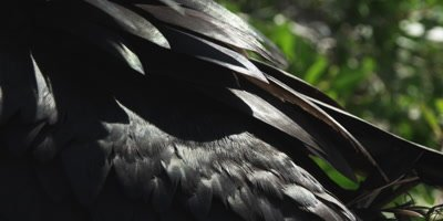 Close up of plumage Magnificent frigatebird male