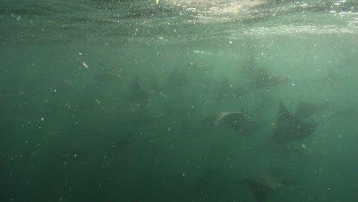 Underwater,School of mobula rays feeding on plankton