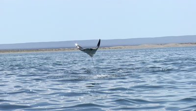 Mobula rays leaping out of the water