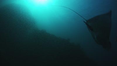 Mobula Ray feeding on Mysid Shrimp