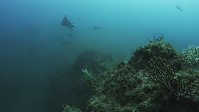 Mobula Ray feeding on Mysid Shrimp