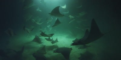 Mobula rays at night feeding on plankton