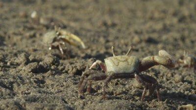 Fiddler Crab displays, waves claw