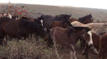Wild Horses And Young Horses At Eastern Island Rapa Nui