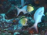 Cleaning Station Butterfly Fish