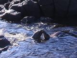 Sea Lions In Tidal Zone