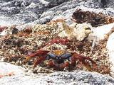 Sally Lightfoot Crab Feeding