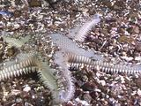 Armored Sea Star Moving