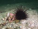 Red And White Sea Urchins
