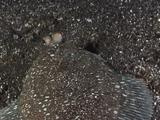 Righteye Flounder Travels Across Sand