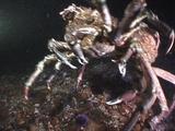 Mating Sheepshead Crabs