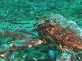 Sheepshead Crab