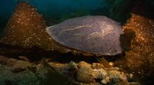 Electric Ray Resting
