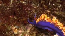 Nudibranch Travelling