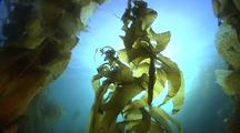 Kelp Forest At Santa Cruz Island