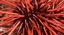 Urchin Close Up